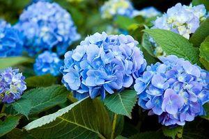 Những loại hoa cực đẹp nhưng cũng cực độc trong dịp Tết