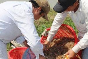 Trúng đậm vụ tôm 'đánh cược', nông dân ăn Tết thả ga