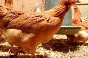 Gà mang gene người đẻ ra trứng 'thần dược'