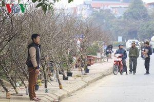 Đào rừng 'khủng' xuống phố tại Điện Biên