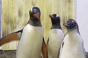 Cặp chim cánh cụt đồng tính có con gái