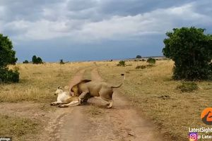 Xem sư tử đực bị vợ dạy dỗ vì 'đòi yêu' sai lúc