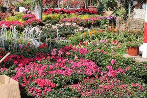 Ngàn hoa khoe sắc đón Xuân tại con đường hoa lớn nhất Hà Nội