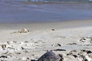 Quảng Nam: Thả cá thể rùa xanh quý hiếm về biển