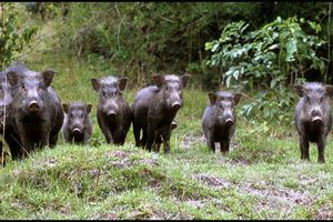 'Vương quốc' của loài lợn rừng ẩn hiện như ma trên nóc nhà Đông Dương