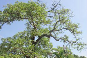 Thêm 6 cây cổ thụ vào danh sách Cây Di sản Việt Nam