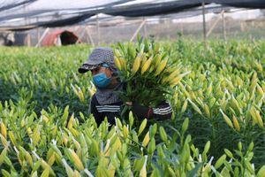 Làng hoa 'chạy nước rút' cung ứng hàng Tết