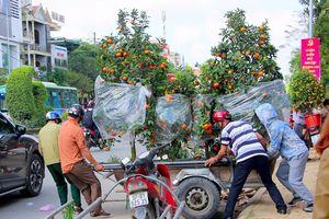 Nghệ An: Kiếm tiền triệu mỗi ngày từ vận chuyển cây cảnh Tết