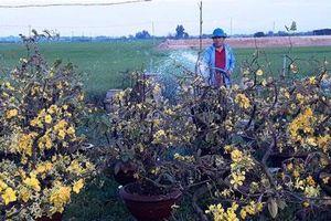Chưa đến Tết, người trồng mai đã đưa mai về vườn… cất!