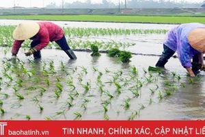 Hương Khê hoàn thành gieo cấy 100% diện tích lúa vụ xuân
