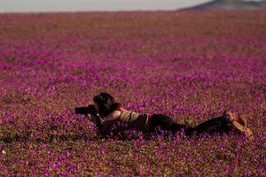 Hoa xuân nở trên vùng đất 'khô cằn nhất hành tinh'