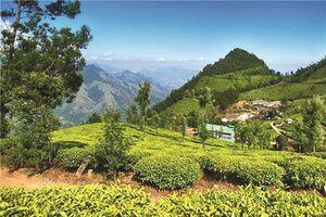 Bí mật loại trà núi Himalaya 'siêu đắt' chỉ hái vào đêm trăng tròn