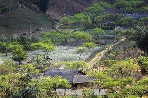 Nét đẹp văn hóa thưởng trà trên cao nguyên Mộc Châu