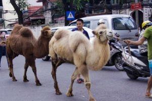 Tiết lộ vai trò đặc biệt của 2 con lạc đà từng 'đi lạc' trên phố Hà Nội