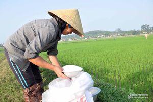 Kết thúc Tết sớm, nông dân ra đồng chăm sóc lúa xuân