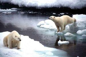 Nga: Quần đảo Novaya Zemlya ban bố tình trạng khẩn cấp vì gấu trắng Bắc Cực xâm nhập