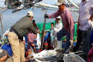Ngư dân Cửa Việt trúng mẻ cá bè vàng tiền tỉ đầu năm