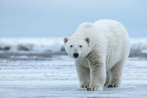Thị trấn Nga bị gấu Bắc Cực xâm lăng