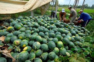 Bộ Công Thương 'mách nước' để xuất khẩu dưa hấu sang Trung Quốc
