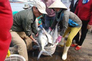 3 tàu bắt được đàn cá bè xước khoảng 135 tấn, trị giá hơn 8 tỉ đồng