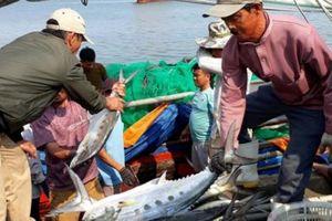 Clip mẻ cá bè vàng hơn 7 tỷ đồng của ngư dân Quảng Trị