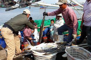 Ngư dân Quảng Trị trúng đậm mẻ cá bè vàng hơn 7 tỷ