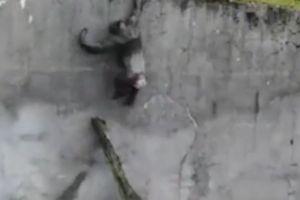 Lũ vượn tinh quái dùng cành cây làm thang đào tẩu khỏi vườn thú