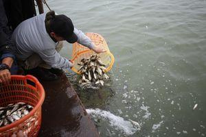 Hàng vạn người phóng sinh gần 12 tấn cá xuống sông Hồng