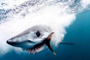 Ảnh động vật: Cá mập khổng lồ săn mồi, dê núi quyết chiến...