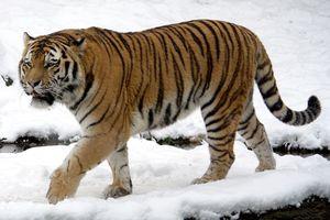CLIP HOT (12/2): Voi bỏ chạy vì bị trâu rừng húc; hổ du xuân khiến người dân lạnh gáy