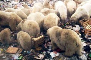 Đảo Nga báo động khẩn cấp vì bị gấu Bắc cực 'xâm lược'