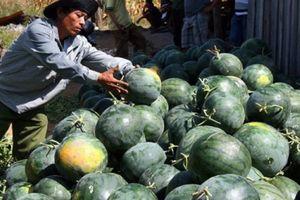 Thương nhân, doanh nghiệp xuất khẩu dưa hấu sang Trung Quốc lưu ý tuân thủ các quy định