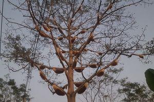Nghệ An: Kỳ lạ cây gạo 40 năm tuổi có gần 40 đàn ong mật về làm tổ