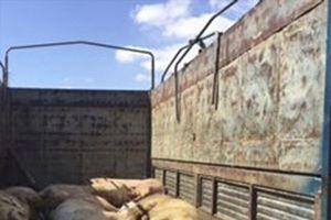Ninh Thuận: Phát hiện đàn lợn mắc bệnh lở mồm long móng
