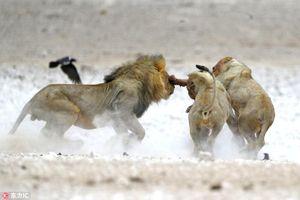 Sư tử trẻ 'đảo chính', tấn công sư tử già lõi đời
