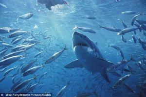 Hãi hùng cảnh hàng trăm con cá mập lượn lờ ngay sát bờ biển