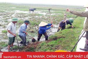 52 héc-ta lúa xuân ở Hà Tĩnh bị chuột tấn công