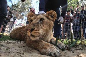 Vườn thú Gaza cho khách chơi với sư tử bị cắt móng vuốt