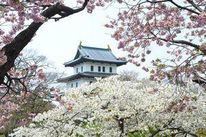 Vì sao người Nhật Bản gọi hoa anh đào là Sakura?