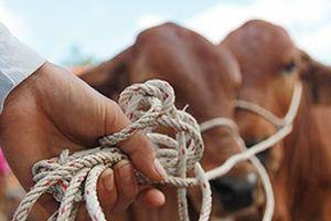 Bắt gọn nhóm trộm trâu, bò của nông dân
