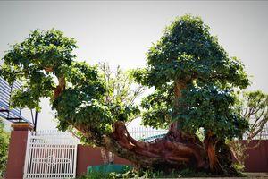 Người đàn ông phố núi sở hữu cây trắc cổ thụ trăm năm tuổi trị giá hàng tỷ đồng