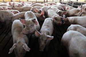 Bệnh dịch tả lợn châu Phi có nguy cơ xâm nhiễm vào Việt Nam