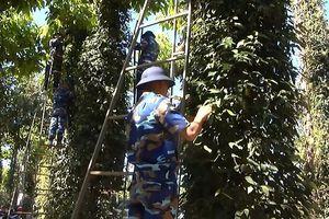 Hàng trăm chiến sĩ tham gia giúp dân thu hoạch tiêu