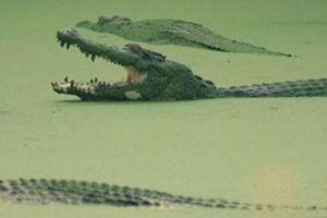 Malaysia: Kinh hoàng chứng kiến cảnh người thân chết thảm vì cá sấu