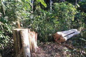 Phá rừng, khai thác gỗ trái phép quy mô lớn ở biên giới Đác Nông