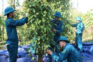 Tiêu ở vựa tiêu chín đỏ vườn, bộ đội, công an giúp dân thu hái