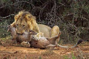 Kinh hoàng hỗn chiến 'sặc' bụi của lợn nanh sừng và sư tử