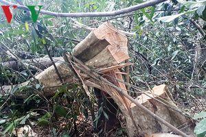 Khởi tố vụ án khai thác gỗ trái phép tại Đắk Nông