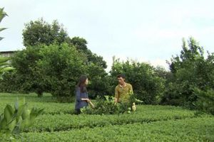 Suy giảm đa dạng cây trồng tạo cơ hội cho sâu bệnh bùng phát
