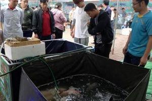 Đã mắt ngắm đàn cá đặc sản sông Đà bơi trên đất Quỳnh Nhai